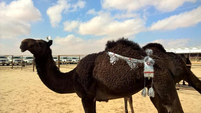 φεστιβάλ καμήλας (6)