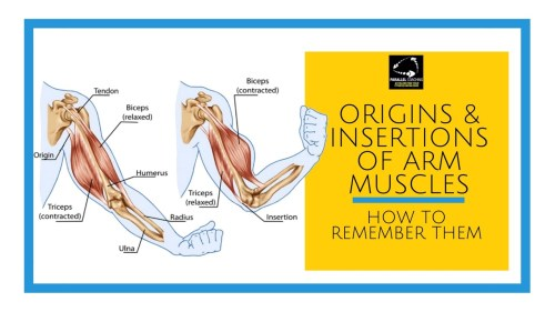 small resolution of arm muscle anatomy diagram