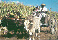 Sugar cane cultivators in Guadeloupe