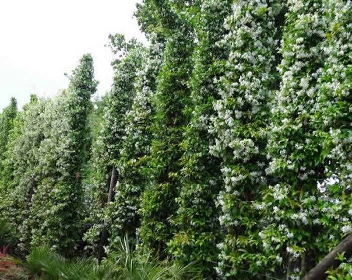 Evergreen Climbing Plants Buy Uk