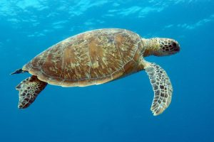 heron-island-qld-green-turtle-credit-tourism-and-events-queensland