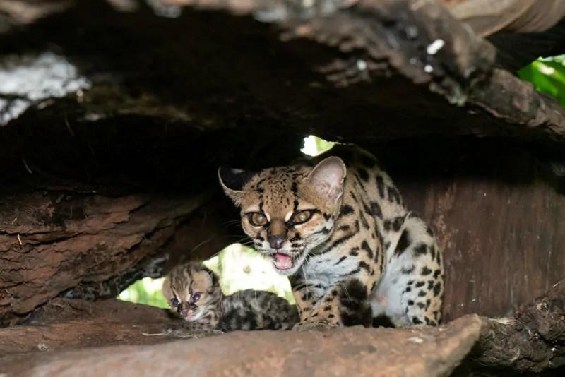 Filhote de gato-maracajá nasce na noite de Natal no Refúgio Biológico de Itaipu