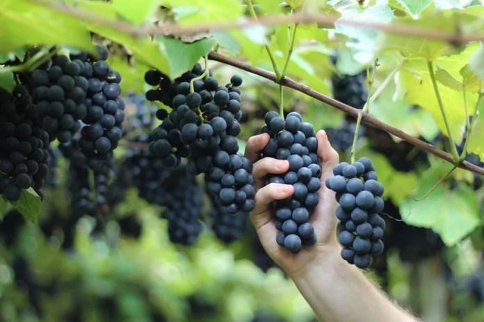Bituruna, capital paranaense do vinho, busca a Indicação Geográfica (IG)