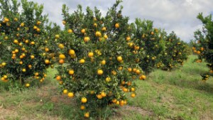 Ponkan do Vale do Ribeira vira ingrediente da gastronomia e poderá ser uma Indicação Geográfica