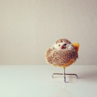 Darcy, the Flying Hedgehog