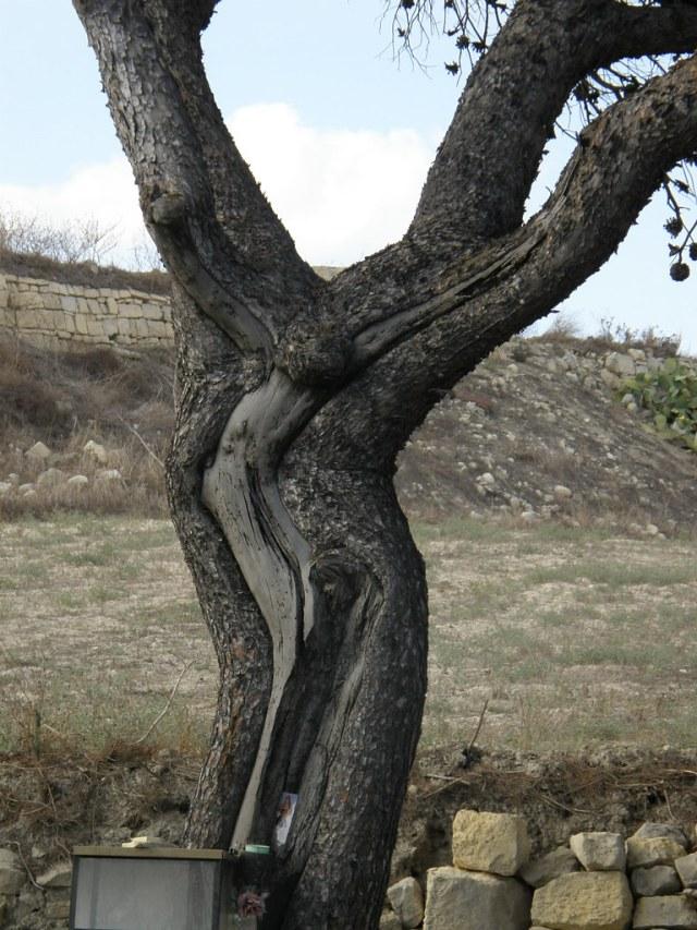 JESUS TREE of Malta.