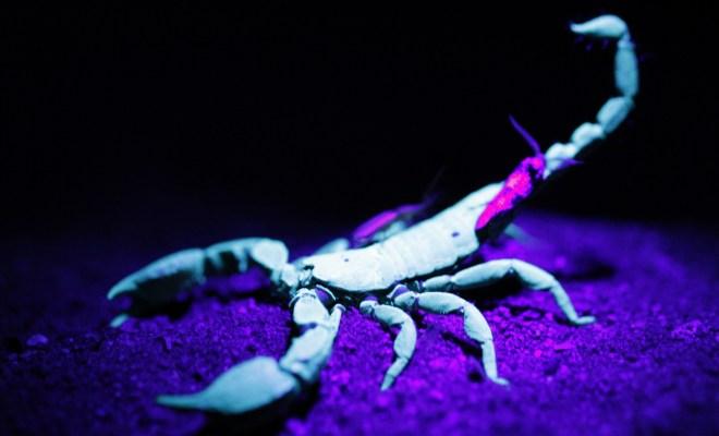 Les scorpions sont fluorescents.