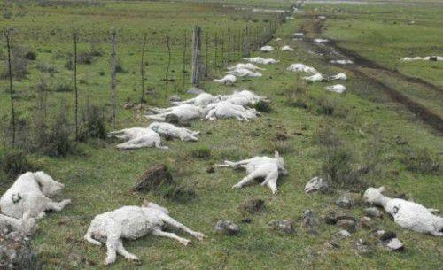 Uruguay : un gel éclair crée une chute de 30°C en quelques minutes (30.000 moutons morts)
