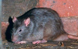 Royaume-Uni : des super rats mutants envahissent le pays