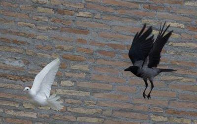 Des oiseaux attaquent les colombes du pape