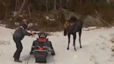 Un orignal attaque des motoneigistes dans le Maine