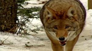 Des coyotes près de Jonquière