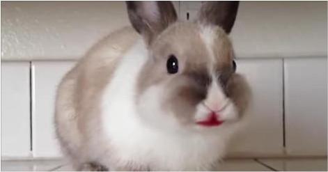 Un lapin vampire?