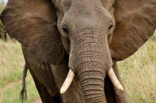 Des éléphants maltraités accros à l'héroïne sortent d'une cure de désintoxication