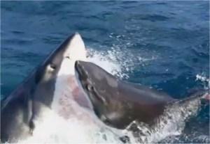 Le combat de deux requins blancs sous l'oeil médusé d'un équipage de pêcheurs