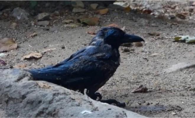 Insolite: Un ours sauve un corbeau de la noyade