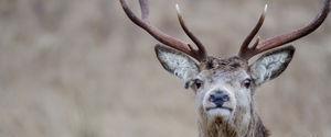 3 décennies après Tchernobyl, les rennes norvegiens sont toujours radioactifs