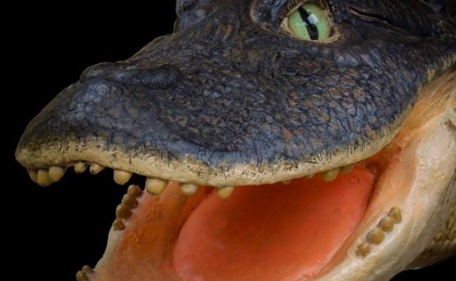 Insolite: Découverte d'un crocodile avec un bec de canard !