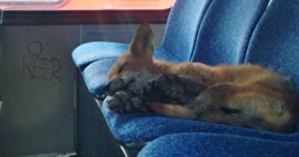 Un renard fait une sieste dans un autobus de la Ville d'Ottawa