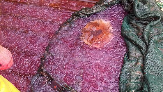 Norvège: Une mystérieuse gélatine violette a envahi des fjords du nord