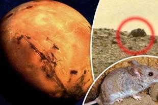 Découverte d'une méga souris sur Mars