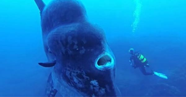 Un cameraman du magazine National Geographic a été gobé vivant par un poisson-lune pendant un tournage