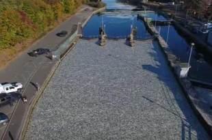Des milliers de poissons morts ont mystérieusement recouvert un canal de New-York