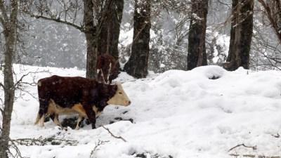 7% des Américains pensent que le lait chocolaté provient de vaches marron