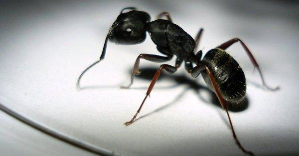 Un million de fourmis construisent un pont pour attaquer un nid de guêpes