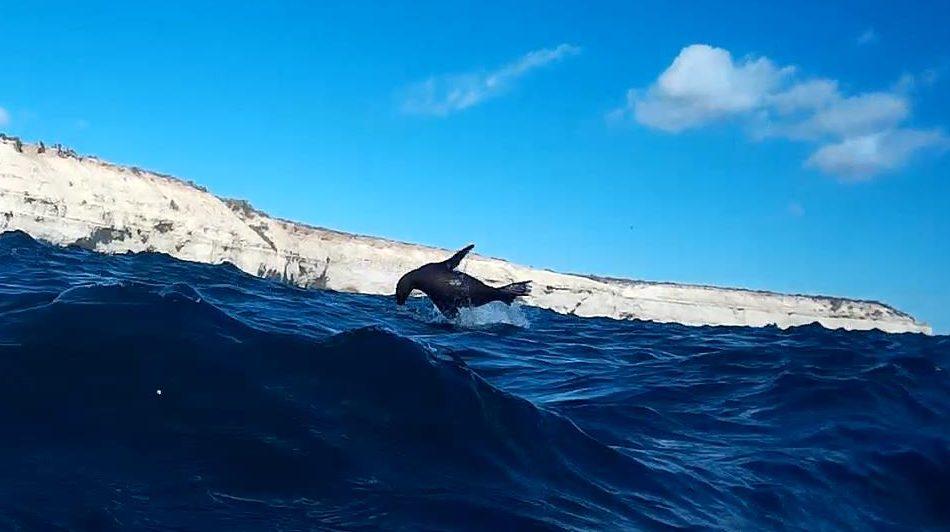 Um lobo marinho saltando