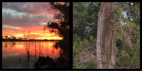 Sunrise on the Murray River, Original Canoe Tree