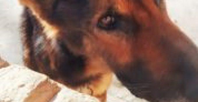 Como curar moquillo en perros