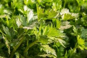 seledri daun sop diet Makanan untuk mengecilkan perut buncit