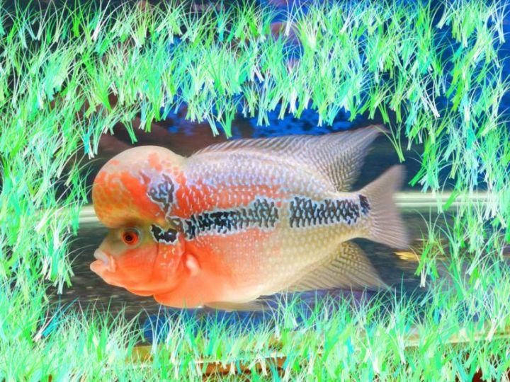 ikan lohan