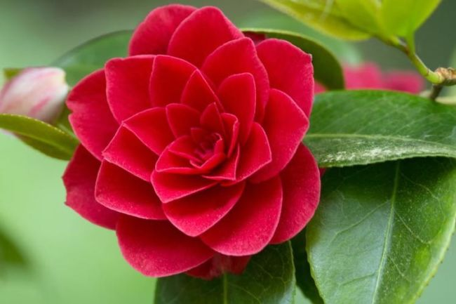 Wallpaper Bunga Camelia