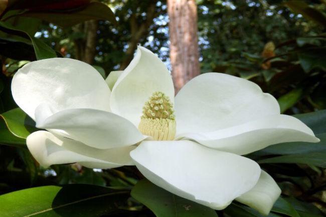 Bunga Magnolia, Bunga yang indah