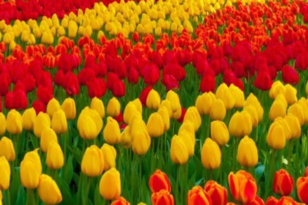 Gambar bunga cantik Tulip
