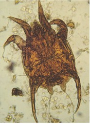 HORSE MITES Biology Prevention And Control Horse Mange
