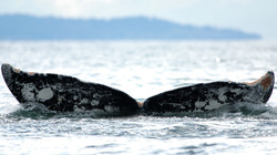 Whale And Barnacles Parasitism