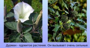 Дурман-трава применение и фото