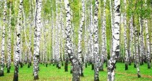 Березовые листья - рецепты и способы применения