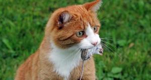 Симптомы токсоплазмоза у кошек. Лечение и профилактика