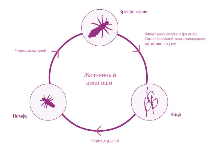 12 أسباب ظهور القمل في شخص على رأسه، كيف يتم نقل Padiculosis؟