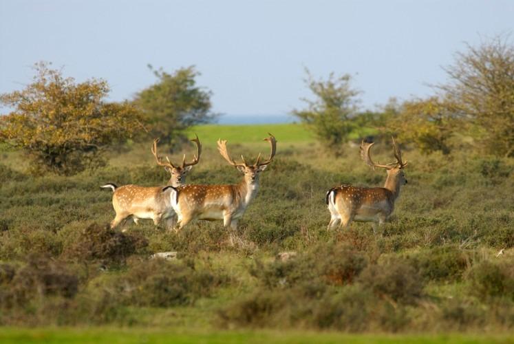 Natur med hjortar