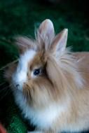 coniglio ariete 1