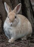 coniglio beige