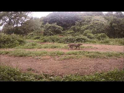 Prima osservazione di Gatto selvatico nel Parco di Veio