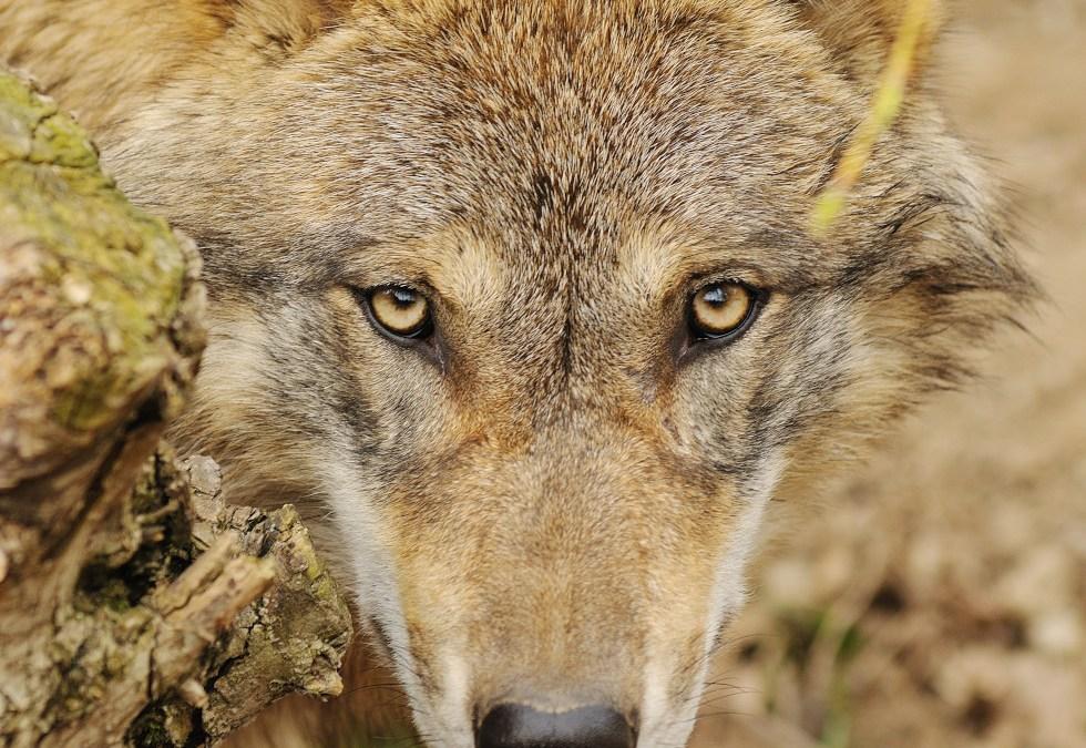 Parco di Veio, cinque lupi avvistati nella zona nord