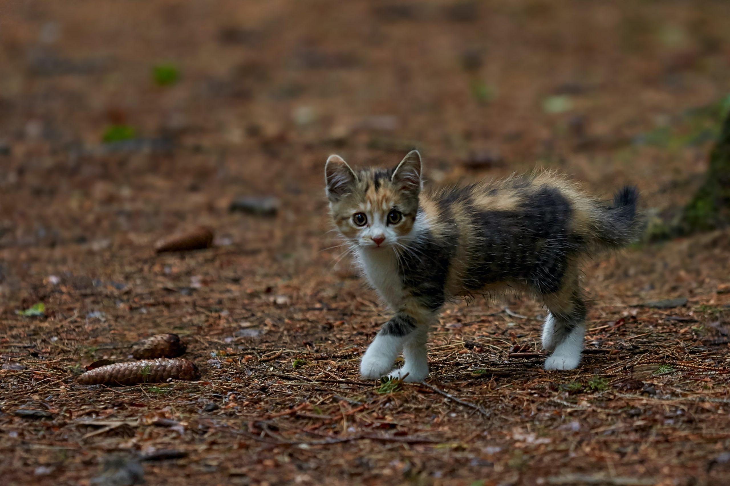 Comment nourrir un jeune chaton ?