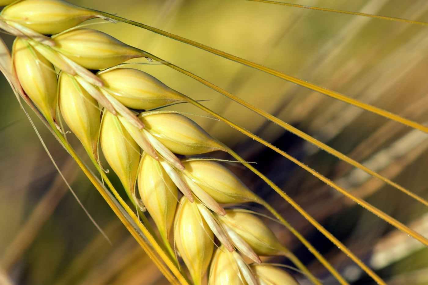 agriculture barley barley field close up